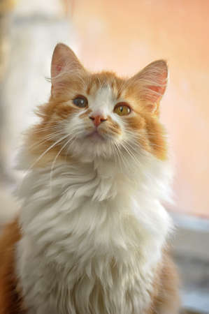 red with white fluffy cat photo