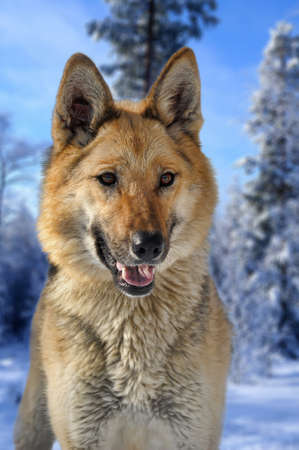 half-breed shepherd and the wolf Stock Photo - 18816018
