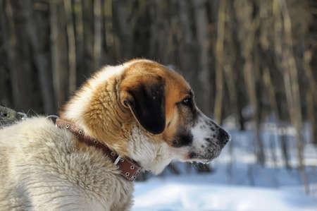st  bernard: San Bernardo perro