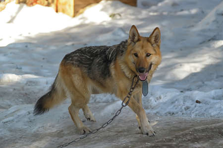 half-breed shepherd and the wolf photo