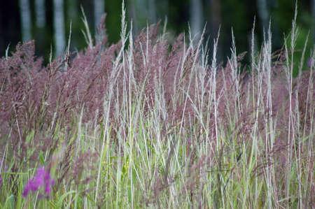 purple grass photo