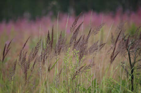 purple grass photo