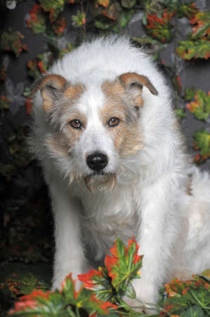 white with red half-breed terrier photo