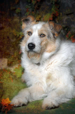rotweiler: white with red half-breed terrier