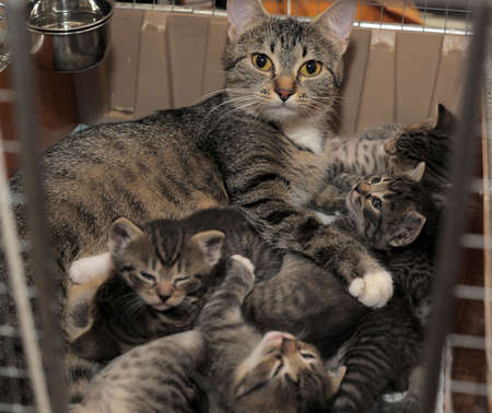 mother cat with kittens striped photo