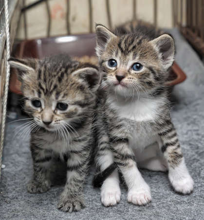 small striped kittens Stock Photo - 18992848