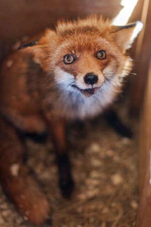 fox Stock Photo - 19000395