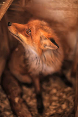 sad fox Stock Photo - 19000393