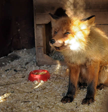 sad fox photo