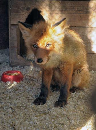 sad fox Stock Photo - 19000360