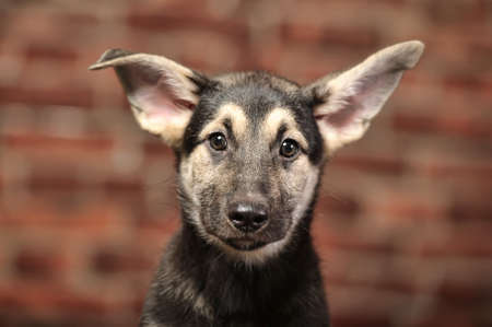 shephard: Funny-eared puppy in front of a brick wall