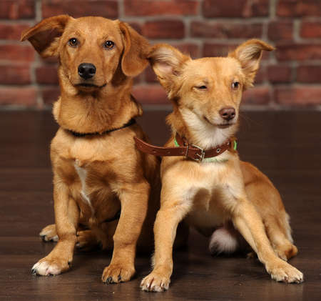 piteous: two red dog Stock Photo
