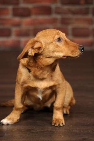 red dachshund dog mestizo Stock Photo - 18992862