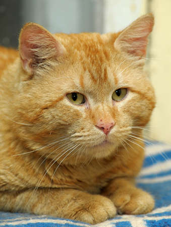 red cat with a thick snout