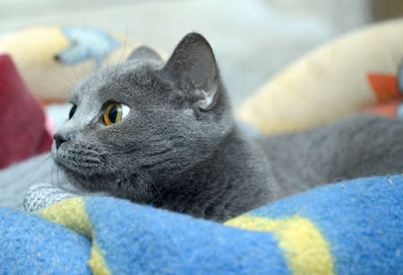 Russian blue cat photo