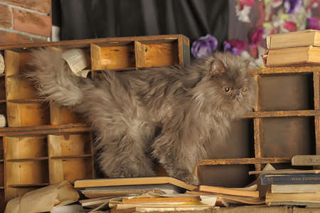 gray Persian cat among the old books photo