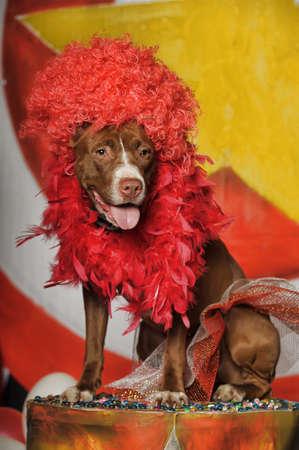 boston bull terrier: Circus dog