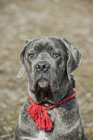 Cane Corso puppy photo