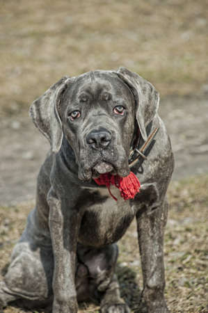 cane corso cachorro photo