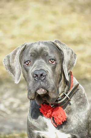 cane collar: cane corso puppy Stock Photo