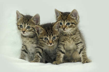 three striped kitten photo