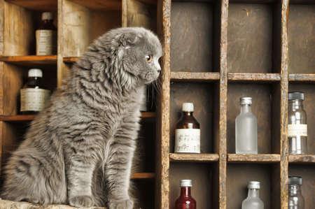 gray Scottish Fold cat photo