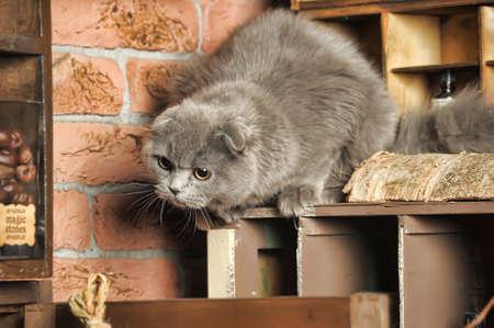 灰色スコットランド隠す猫 写真素材