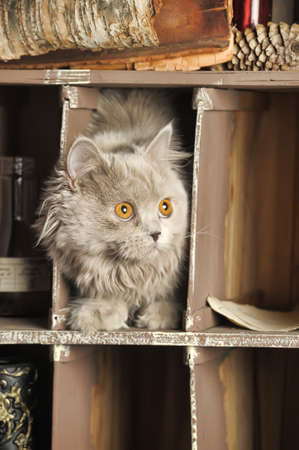 Cute Scottish kitten portrait photo