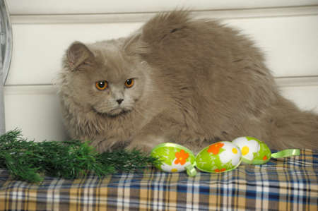 Cute Scottish kitten portrait photo