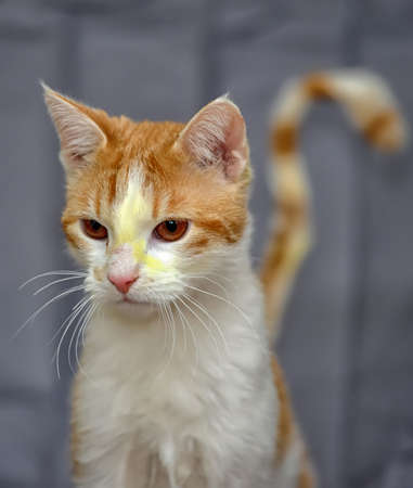 red and  white cat after treatment photo