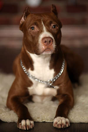 Pit Bull Terrier photo