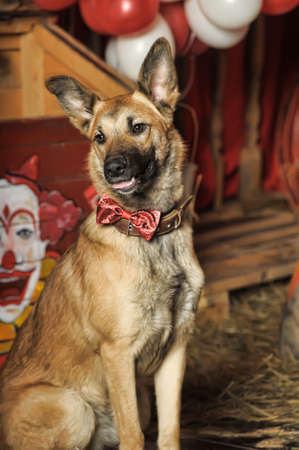 Half-breed dog circus photo