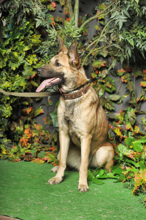 half-breed shepherd dog photo