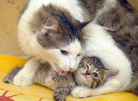 cat plays with a kitten photo