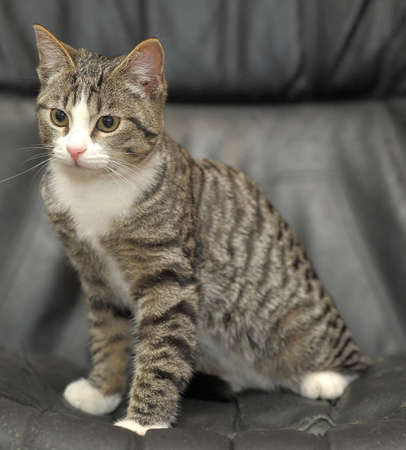 cute gray tabby cat with a white breast photo