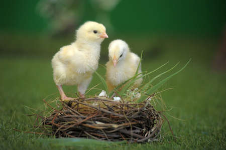 Two chicken and nest photo