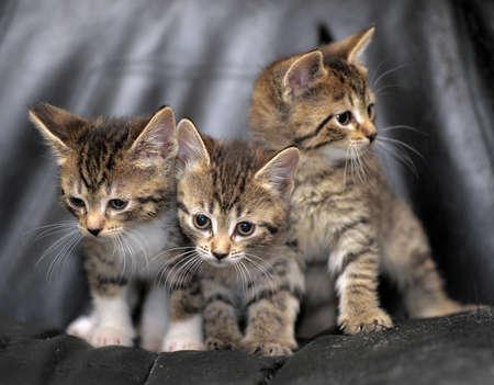 three striped kitten photo