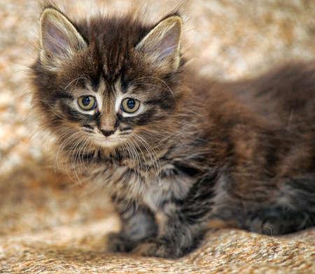 true born: sad little fluffy kitten
