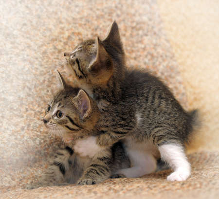 animals together: two tabby kitten playing with each other