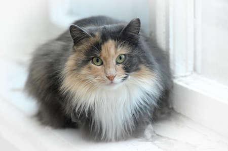 rojo con el gato gris mullido Foto de archivo