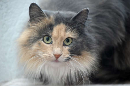 red with gray fluffy cat