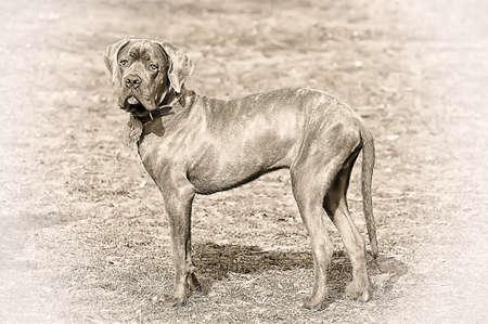 cane corso puppy photo