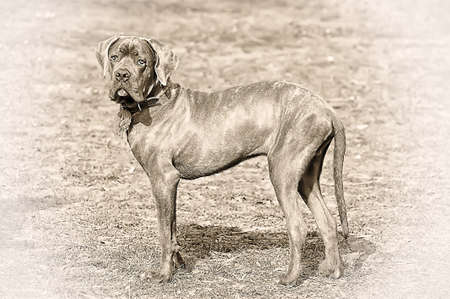 cane corso: cucciolo di cane corso