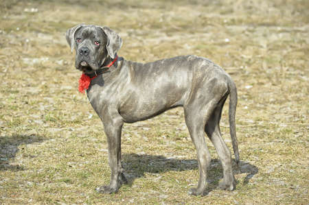 cachorros de Cane corso photo