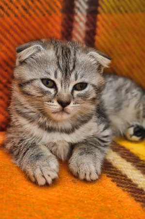 Curious striped scottish fold kitten photo