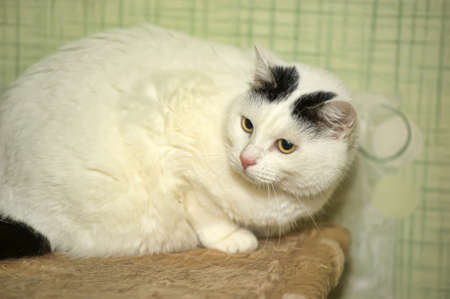 White cat with black spots