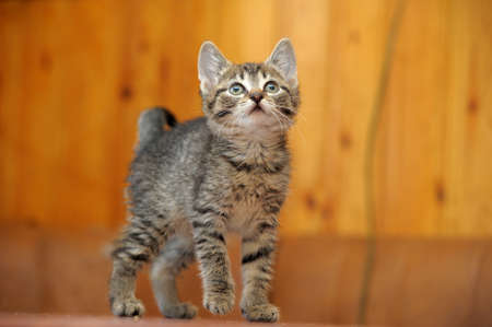 cute little tabby kitten photo