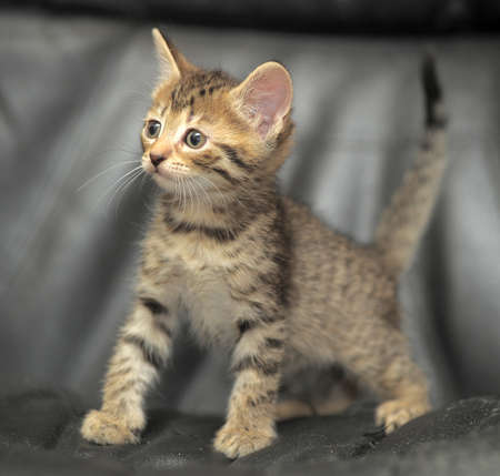 miaul: cute tabby kitten on a dark background