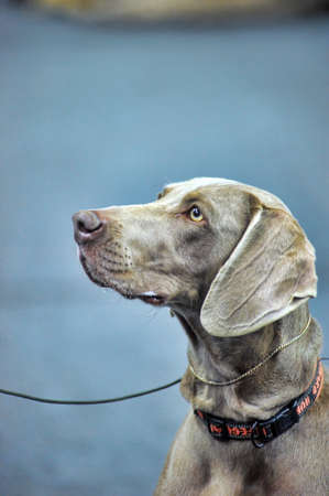 the faithful: weimaraner