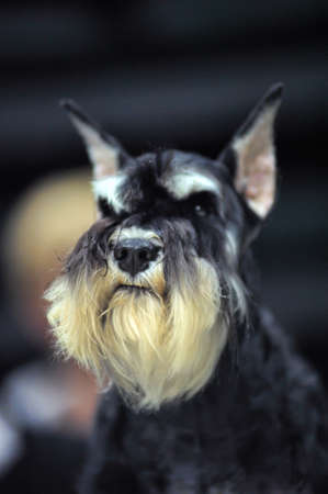 Miniature Schnauzer color pepper and salt